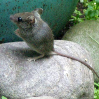 mouse15.jpg